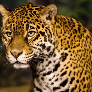 Leopard Stare Photo