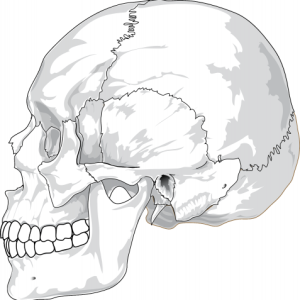 ReallyColor User Hall of Fame - Skull Anatomy Photo