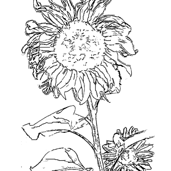 ReallyColor User Hall of Fame - Sunflower Coloring Page