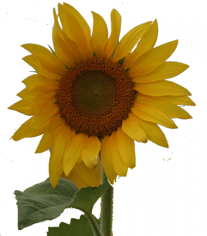 ReallyColor User Hall of Fame - Sunflower Photo