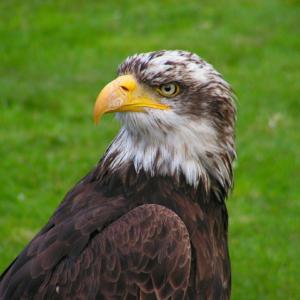 ReallyColor Hall of Fame - Soaring Eagle Photo